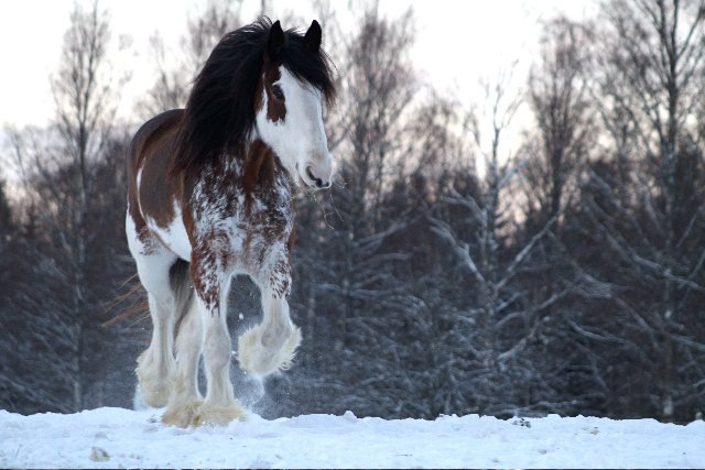 Clydesdale1